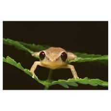 Portrait of coqui frog sitting on foliage Poster