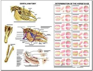 Equine Dental Anatomy Wall Chart 3 LFA 2538 Horse