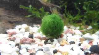 Nano Marimo Moss Ball Live Aquarium Plant Java Fish Tank O