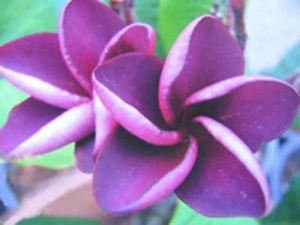 """Plumeria Frangipani Flowers Plants """"Mai Thai"""" 50 Seeds"""