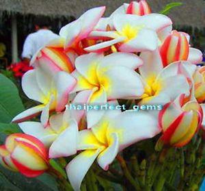 """Plumeria Plants Flowers """"Onnut"""" Fresh 50 Seeds"""