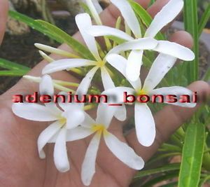Plumeria Rubra Frangipani Plants Snow Queen 50 Seeds Fresh RARE