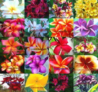 "Plumeria Frangipani Flowers Plants ""Mixed"" 1 020 Seeds"