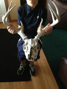 Whitetail Deer Skull 8 Point Antlers Sheds Western Decor Taxidermy Rattle Call