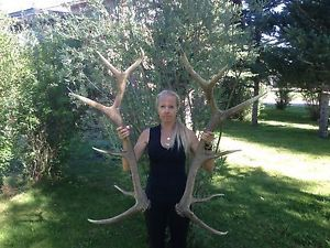 Elk Antlers Sheds Taxidermy Non Typical Moose Deer Trophy Mount Huge