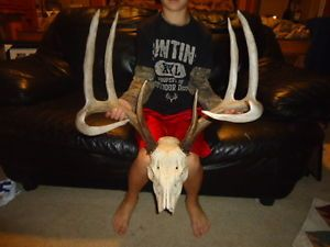 "Huge 156"" inch Typical 5x5 Whitetail Deer Rack Antlers Sheds Elk Muledeer Moose"