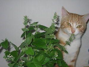 Catnip Herb 25 Fresh Seeds  Cat Grass