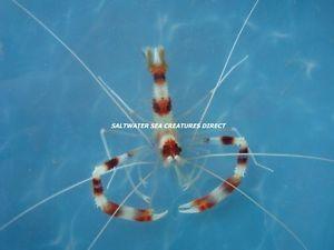 Banded Coral Shrimp Great Tank Cleaner Tropical Fish Aquarium Saltwater
