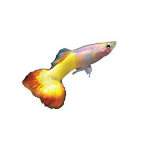 3 Tequila Sunrise Male Guppies Live Fresh Water Fish and Flake Food