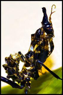 L3 x 5 Idolomantis Diabolica Giant Devil Flower Live Praying Mantis