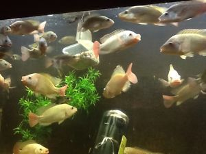 50 Live Blue Tilapia Fish Fry Non GMO Natural Aquaponics Farming