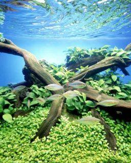 Anubias Barteri Gold Live Aquarium Plant Fish Tank