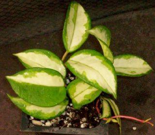 Variegated Hoya Carnosa Rubra Succulent Vine House Plant