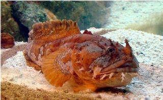 Nice Orange Toadfish for Saltwater Reef Aquarium Live Fish