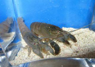 Vampire Shrimp Filter Shrimp Live Freshwater Aquarium Fish