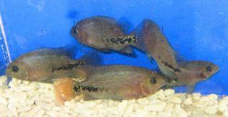 1 Synspilum Cichlid for Live Freshwater Aquarium Fish