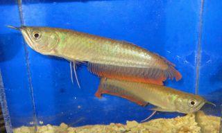 Silver Arowana Fish Live Freshwater Aquarium Fish