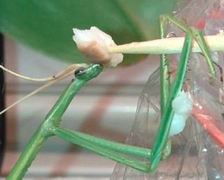 Brunneria Borealis Stick Praying Mantis Egg Case Special not Regular Mantis