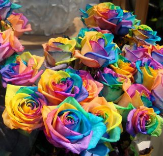 20 Seeds RARE Rainbow Rose Seed for Your Lover Rainbow Rose Flower Seed