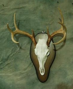 Replica Deer Skull Mount Kit Taxidermy No Antlers Included Horns