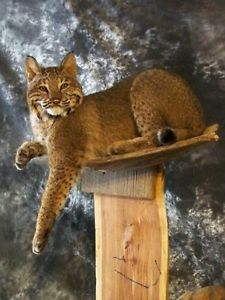 Bobcat Mount: Taxidermy