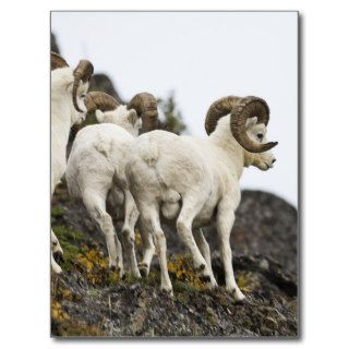 Regal Dall Sheep Rams Post Card